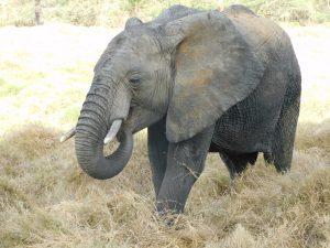 Alamaya (c) Sheldrick Wildlife Trust