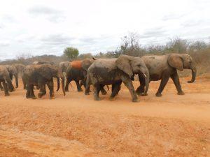 Die Waisen auf dem Weg in den Busch (c) Sheldrick Wildlife Trust