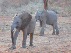 Barsilinga und Kithaka (c) Sheldrick Wildlife Trust