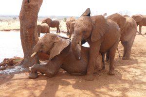 Emoli versucht, auf Lasayen aufzusteigen (c) Sheldrick Wildlife Trust