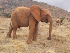 Emoli (c) Sheldrick Wildlife Trust