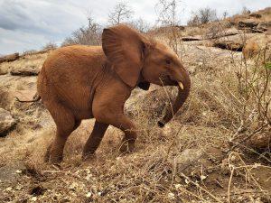 Emoli versucht, seine Kumpels aufzuholen (c) Sheldrick Wildlife Trust