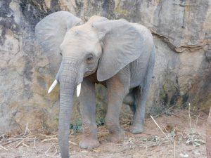 Enkikwe (c) Sheldrick Wildlife Trust