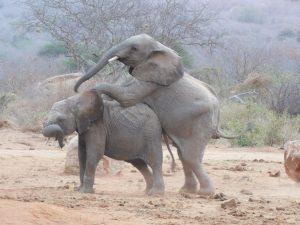 Gala sattelt auf Mapia auf (c) Sheldrick Wildlife Trust