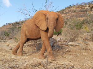 Kuckuck! - Ishaq-B (c) Sheldrick Wildlife Trust