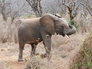 Kamok (c) Sheldrick Wildlife Trust