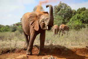 Kiombo (c) Sheldrick Wildlife Trust