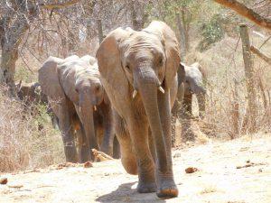 Kuishi führt die Gruppe zur Suhle (c) Sheldrick Wildlife Trust