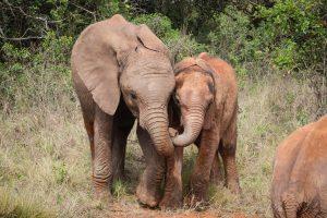 Larro und Olorien (c) Sheldrick Wildlife Trust