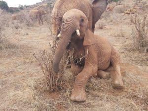 Lasayen spielt mit Godoma (c) Sheldrick Wildlife Trust