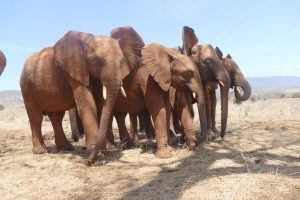 v.l.n.r.: Lasayen, Emoli, Mbegu und Murit (c) Sheldrick Wildlife Trust