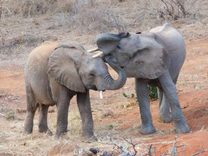 Lemoyian gibt Tusuja ein Küßchen (c) Sheldrick Wildlife Trust
