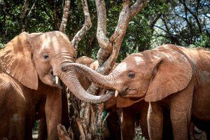 Maisha und Naboishu (c) Sheldrick Wildlife Trust