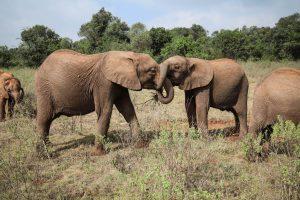 Maktao und Naboishu (c) Sheldrick Wildlife Trust