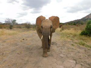 Mapia (c) Sheldrick Wildlife Trust