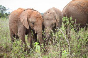 Mukkoka und Larro (c) Sheldrick Wildlife Trust
