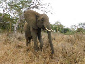 Murera rennt Lima Lima hinterher (c) Sheldrick Wildlife Trust