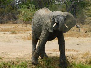 Mwashoti beim Saufen (c) Sheldrick Wildlife Trust