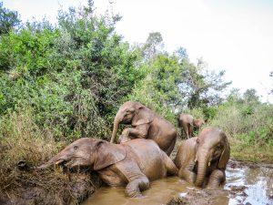 v.l.n.r.: Nabulu, Roho und Maisha (c) Sheldrick Wildlife Trust
