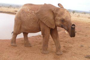 Ndotto hat keine Lust zum Baden (c) Sheldrick Wildlife Trust
