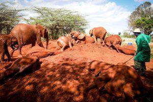 Die Nairobi-Waisen in ihrem Element (c) Sheldrick Wildlife Trust