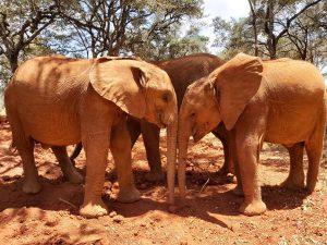 Roho und Naleku (c) Sheldrick Wildlife Trust
