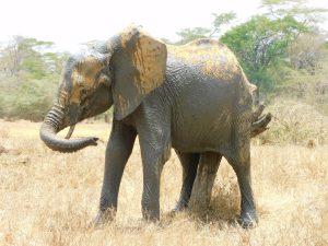 Shukuru beim Schubbern (c) Sheldrick Wildlife Trust
