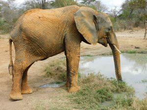 Sonje nach dem Wälzen in der roten Erde (c) Sheldrick Wildlife Trust