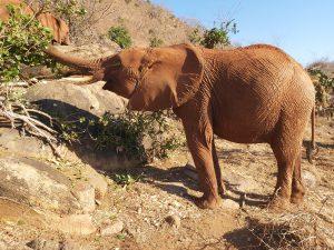 Suswa (c) Sheldrick Wildlife Trust