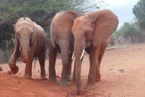 v.l.n.r.: Tahri, Ndii und Kenia (c) Sheldrick Wildlife Trust
