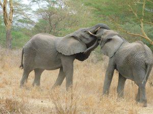 Ziwa und Ngasha beim Ringen (c) Sheldrick Wildlife Trust