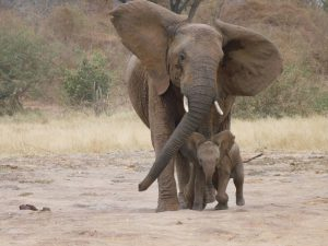 Lenana und Lapa (c) Sheldrick Wildlife Trust