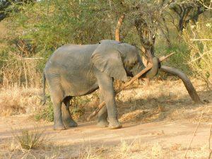 Ngasha (c) Sheldrick Wildlife Trust