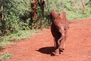 Bondeni (c) Sheldrick Wildlife Trust