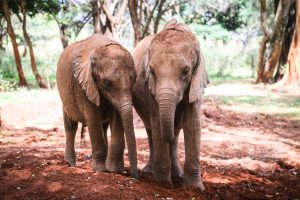 Bondeni und Kindani (c) Sheldrick Wildlife Trust