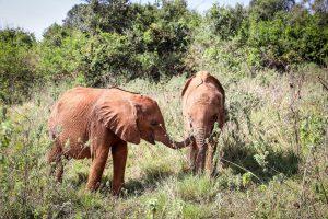 Bondeni und Kinyei (c) Sheldrick Wildlife Trust
