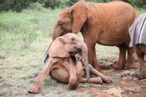 Bondeni und Kiombo (c) Sheldrick Wildlife Trust