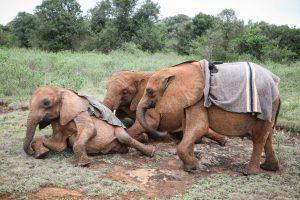 Bondeni, Kiombo und Kindani (c) Sheldrick Wildlife Trust