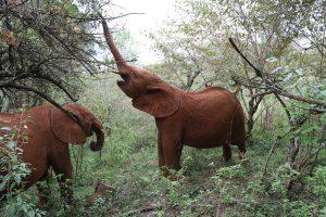 (c) Sheldrick Wildlife Trust