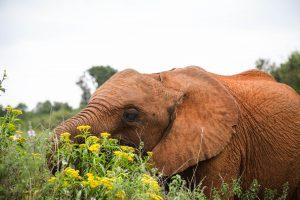 Kiasa (c) Sheldrick Wildlife Trust