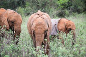 Kiasa, Mukkoka und Kindani (c) Sheldrick Wildlife Trust