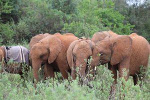 Kiasa, Mukkoka und Kiombo (c) Sheldrick Wildlife Trust
