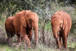 Kiasa und Nabulu (c) Sheldrick Wildlife Trust