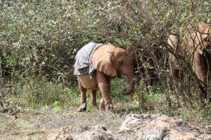 Kindani (c) Sheldrick Wildlife Trust