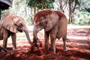 Kindani und Bondeni (c) Sheldrick Wildlife Trust