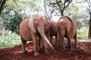 Kindani, Bondeni und Kinyei (c) Sheldrick Wildlife Trust