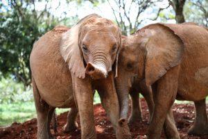 Kindani und Kinyei (c) Sheldrick Wildlife Trust