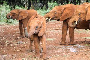 Kindani, Kiombo und Maktao (c) Sheldrick Wildlife Trust
