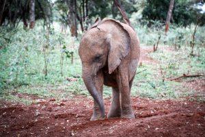 Kinyei (c) Sheldrick Wildlife Trust