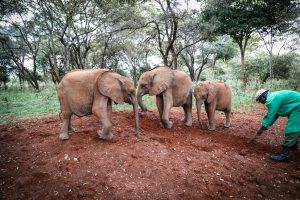 Kinyei, Kindani und Bondeni (c) Sheldrick Wildlife Trust